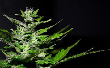 lecznicza marihuana - roślina
